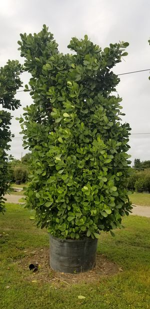 Huge clusias 5 to 14feet tall ask for prices for Sale in Miami, FL