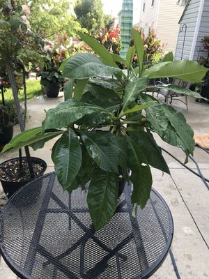 Plumeria flower - plants for Sale in Grove City, OH