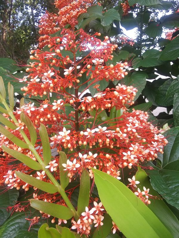 Padoga flower