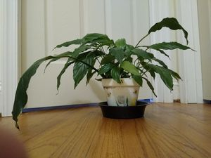 "Peace Lily in 5"" Tall Clay Pot for Sale in Farmville, VA"