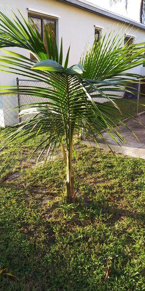 Coconut trees for Sale in North Miami Beach, FL
