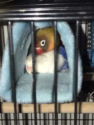 Sellling a pair of lovebirds for $250 lmk boy and girl and it comes with cage for Sale in New Rochelle, NY
