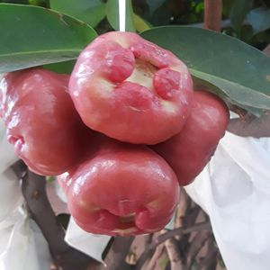 Fresh fruit! Wax apples! for Sale in Artesia, CA