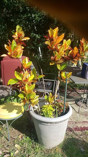 Lovely plant $85 for Sale in UPPR MARLBORO, MD