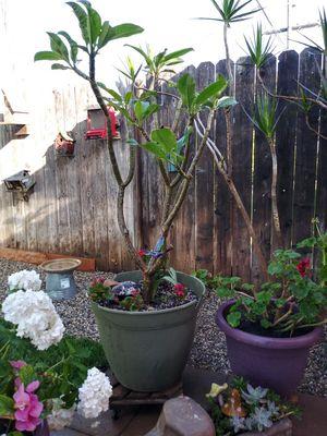 Plumeria for Sale in Santa Fe Springs, CA