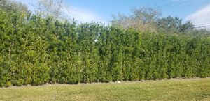 Podocarpus about 5 feet tall instant privacy for Sale in Miami, FL