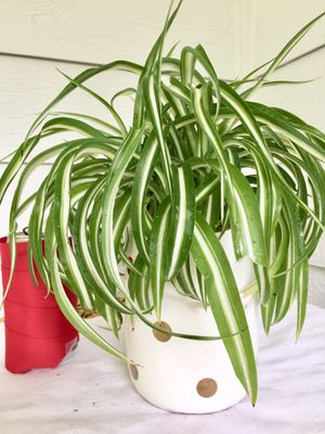 Real Indoor Houseplant - Spider Plants in Wall Hanging Ceramic Planter Pot for Sale in Auburn, WA