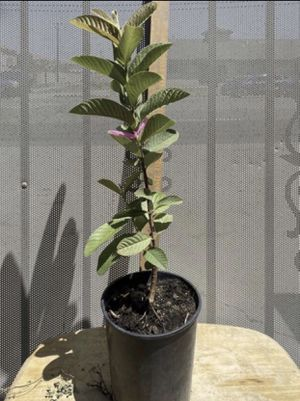 Pink guava for Sale in Garden Grove, CA