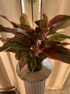Live interior plant- Chinese evergreen plant Red Aglaonema for Sale in Dallas, TX