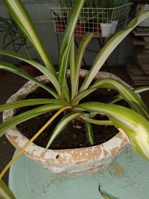 Spider plant for Sale in Rialto, CA