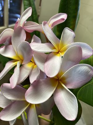 Beautiful potted plumeria cuttings pink/white for Sale in Ontario, CA