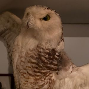 SNOWY OWL - TAXIDERMY BIRD MOUNT for Sale in Fairfax, VA