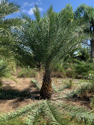 Palm tree field grown 3 ft for Sale in Miramar, FL