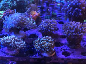 Green & Blue Tip Cristata Coral Frags for Sale in Hialeah, FL