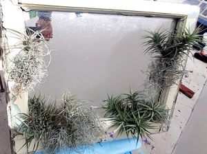 FARMHOUSE SHABBY CHIC Distressed wall mirror window pane Thilandsia airplant real moss ONE OF A KIND wall decor for Sale in Los Angeles, CA