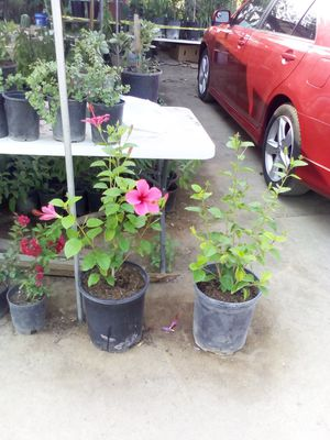 Hibiscus for Sale in Fresno, CA