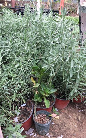 Lavender plant in 1 gallon pot for Sale in Modesto, CA