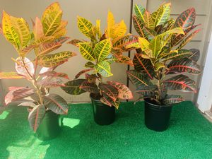 Healthy live croton for Sale in Norcross, GA
