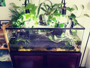 55g aquarium planted with large wood decor. for Sale in San Leandro, CA