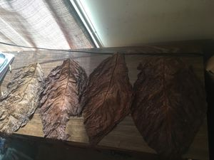 Nicaraguan criollo fronto leaf/wrap for Sale in North, SC