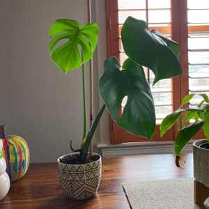 Mature Monstera Plant for Sale in Washington, DC