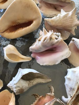 Conch Shell Assortment for Sale in Arlington, TX