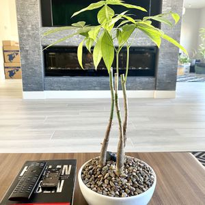 "Live Money Tree In An 8"" Ceramic Bonsai Planter With Decorative Rocks. for Sale in Sloan, NV"
