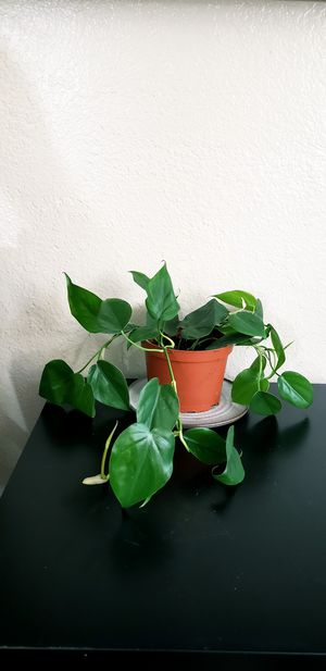Live pothos plant in 6 inch diameter pot for Sale in Chandler, AZ