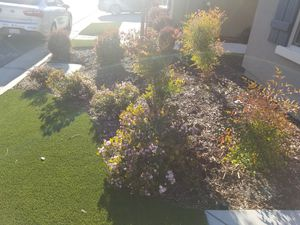 Bushes and Tree (garden/landscape)... FREE for Sale in Clovis, CA