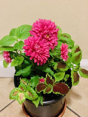 Mix flower plant in one pot for Sale in Fresno, CA