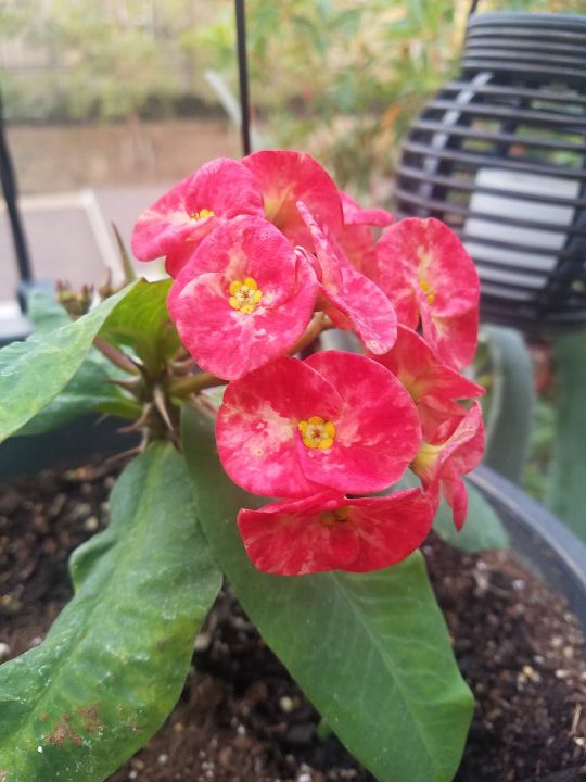 The crown of thorns in large pot.
