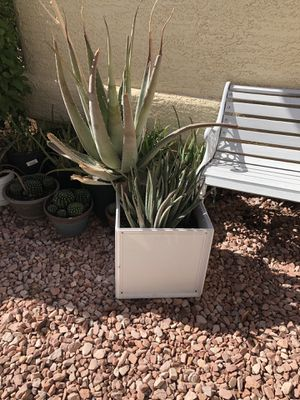 Very big aloe Vera plant for Sale in Las Vegas, NV