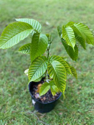 Santol, Cotton Fruit, Sentul Tree (Sandoricum koetjape) for Sale in Kissimmee, FL