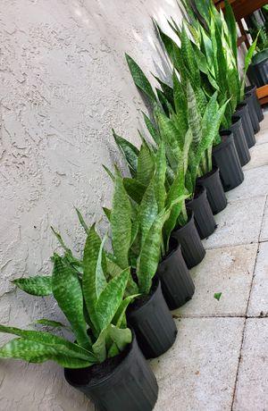 "Snake plants. About 17"" tall. $10 each for Sale in Deerfield Beach, FL"