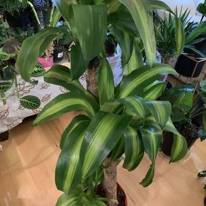 3 Dracaena Cane Corn Plant for Sale in Renton, WA