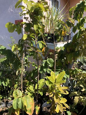 Cherimoya plants for Sale in National City, CA