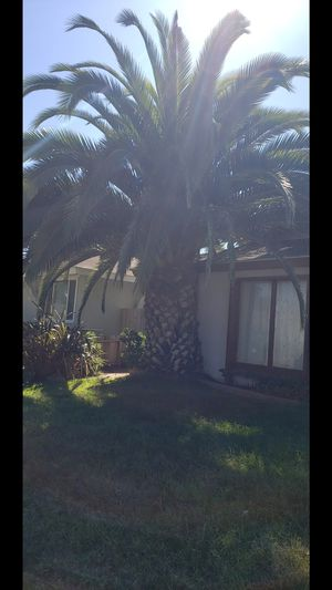 Palm Tree for Sale in Santa Maria, CA