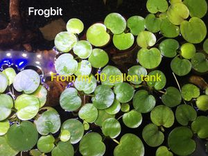 Aquarium fish tank plants - frogbit, Salvina, dwarf water lettuce, guppy grass, anacharis for Sale in Chesterbrook, PA
