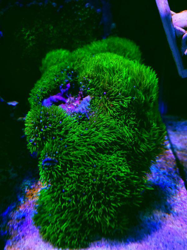 Polipo estrella coral