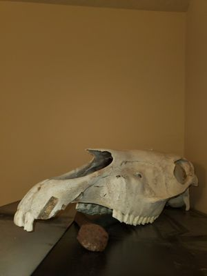 Horse skull (clean) for Sale in Oregon City, OR