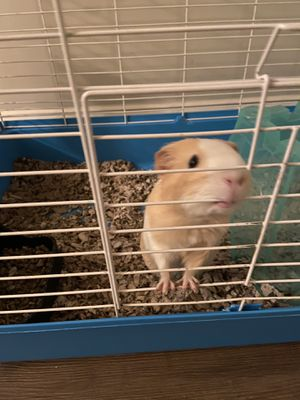 female guinea pig for Sale in Richmond, VA