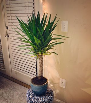 Yucca plant for Sale in Alpharetta, GA