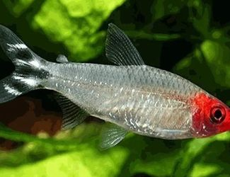 Rummy Nose Tetras for Sale in Beaverton,  OR