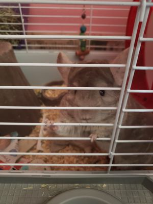 Pet Chinchilla for Sale in Parkersburg, WV