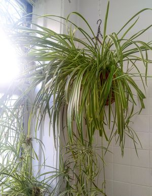 Spiderette plant (spider plant baby) for Sale in Chicago, IL