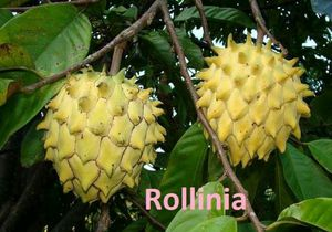 Rollina deliciousa grafted trees in 3 gal arboles suncuya injertado en 3 gal for Sale in Boca Raton, FL