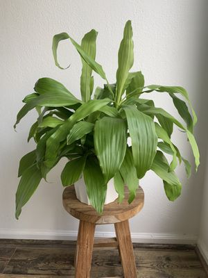 Dracaena Limelight Plant for Sale in Los Angeles, CA