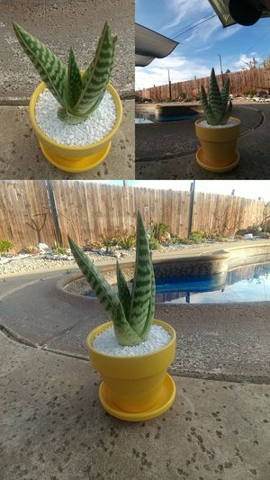 Succulent in small yellow pot. for Sale in Industry, CA