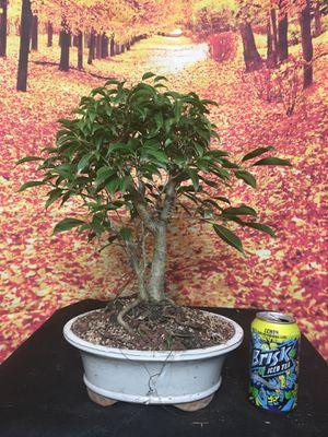 Pre-Bonsai: Lipstick Ficus, dual trunk for Sale in Everett, MA