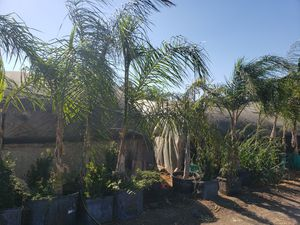 Queen palm for Sale in Ontario, CA